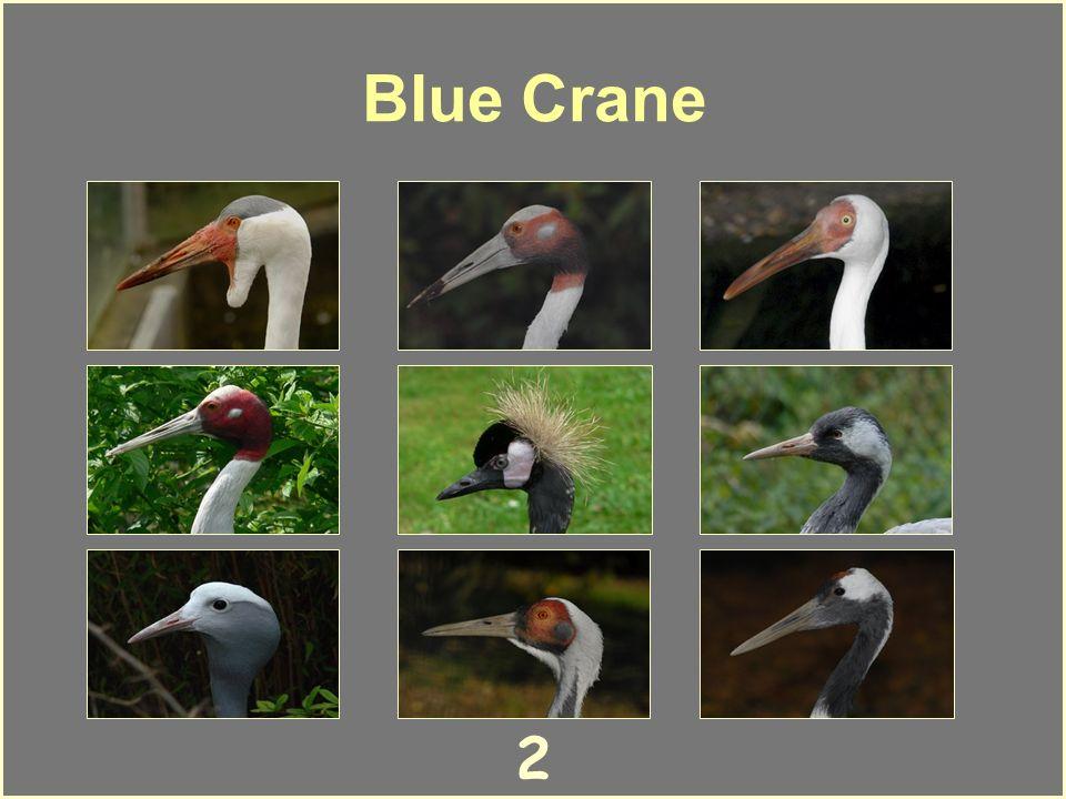 1 Wattled Crane