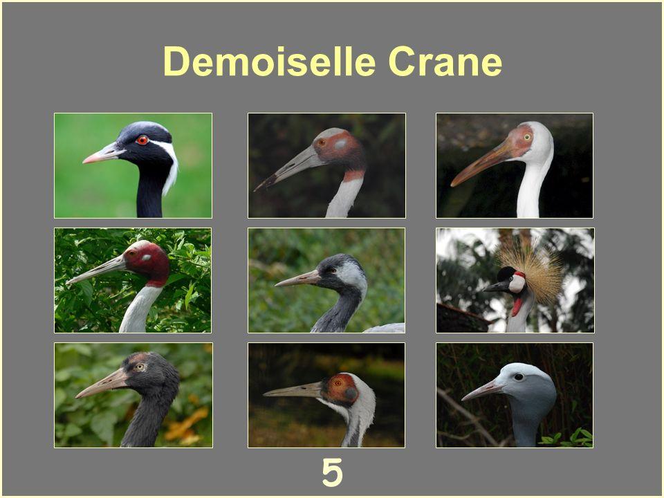 5 Demoiselle Crane
