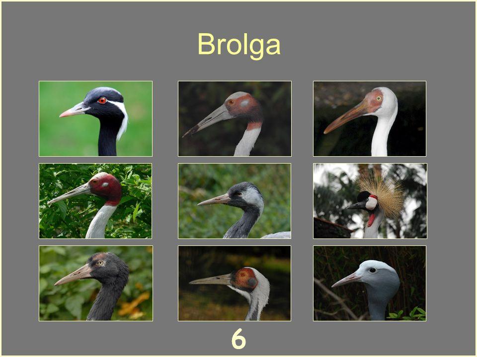6 Brolga