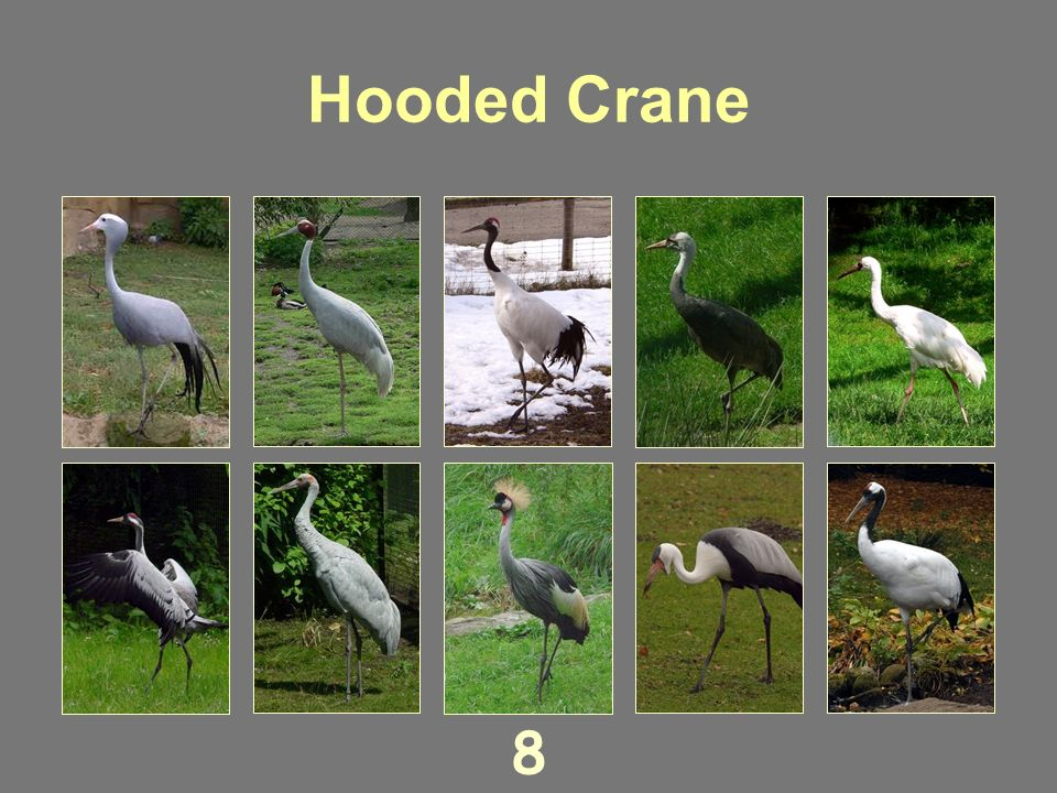 Red-crowned Crane 7