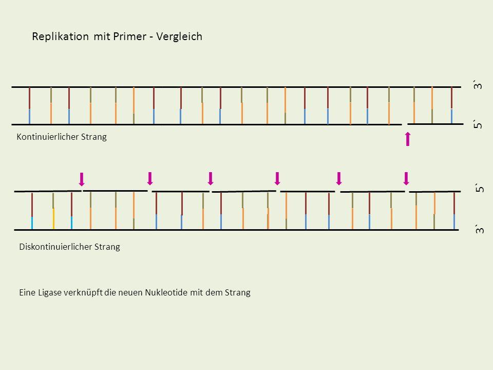 5` 3` 5` 3` Replikation mit Primer - Vergleich Kontinuierlicher Strang Diskontinuierlicher Strang Eine Ligase verknüpft die neuen Nukleotide mit dem S