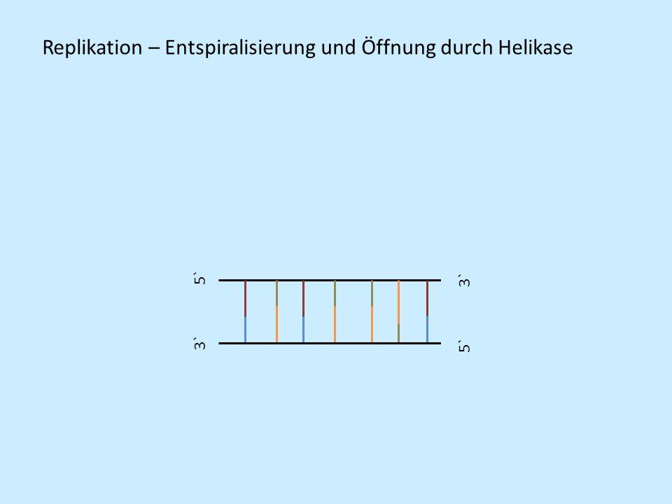 5` 3` 5` 3` Replikation – Entspiralisierung und Öffnung durch Helikase