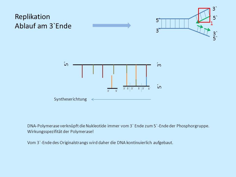 5` 3` 5` 3` 5`3` Syntheserichtung Replikation Ablauf am 3`Ende 5` DNA-Polymerase verknüpft die Nukleotide immer vom 3` Ende zum 5`-Ende der Phosphorgr
