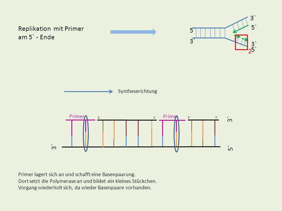 5` 3` 5` 3` Replikation mit Primer - Vergleich Kontinuierlicher Strang Diskontinuierlicher Strang Man sieht sofort, dass für den diskontinuierlichen Strang viele RNA-Primer benötigt werden.