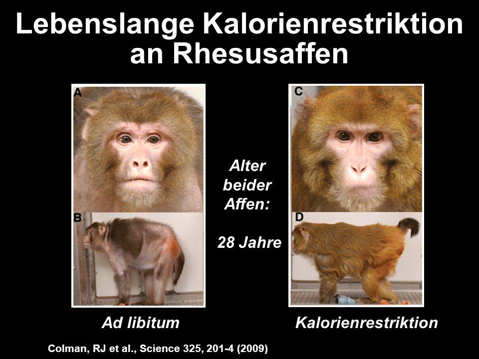 Lebenslange Kalorienrestriktion an Rhesusaffen Ad libitumKalorienrestriktion Alter beider Affen: 28 Jahre Colman, RJ et al., Science 325, 201-4 (2009)