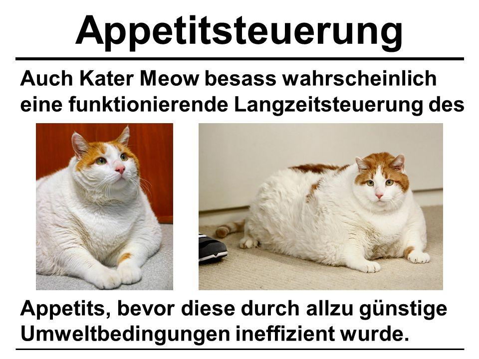 Auch Kater Meow besass wahrscheinlich eine funktionierende Langzeitsteuerung des Appetits, bevor diese durch allzu günstige Umweltbedingungen ineffizi