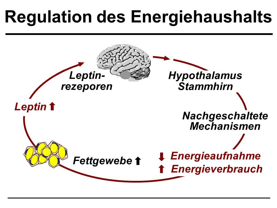 Regulation des Energiehaushalts Leptin Fettgewebe Hypothalamus Stammhirn Energieverbrauch Energieaufnahme Nachgeschaltete Mechanismen Leptin- rezepore