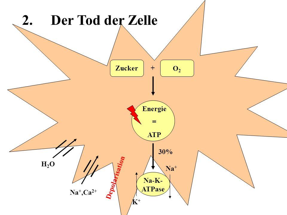Energie = ATP Zucker O2O2 + 30% Na-K- ATPase Na +,Ca 2+ H2OH2O Na + K+K+ Aktivierung von Verdauungsenzymen 2.Der Tod der Zelle