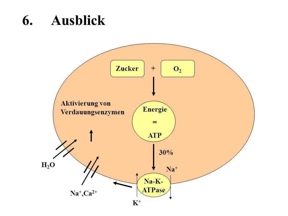 Energie = ATP Zucker O2O2 + 30% Na-K- ATPase Na +,Ca 2+ H2OH2O Na + K+K+ 6. Ausblick Aktivierung von Verdauungsenzymen
