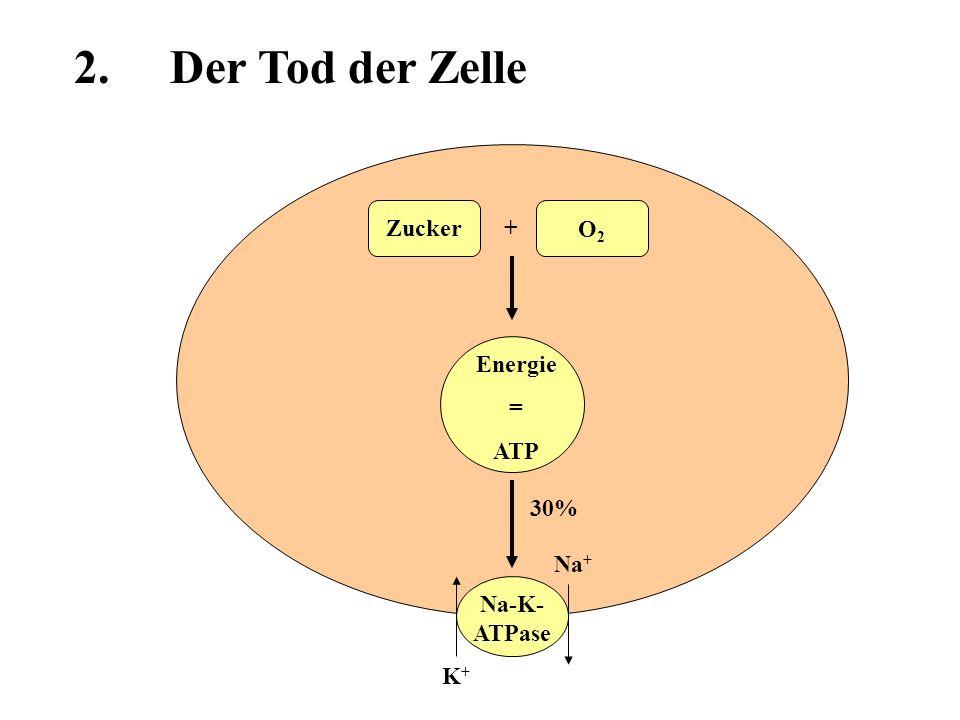 Energie = ATP Zucker O2O2 + 30% Na-K- ATPase H2OH2O Na + K+K+ Depolarisation Na +,Ca 2+ 2.Der Tod der Zelle