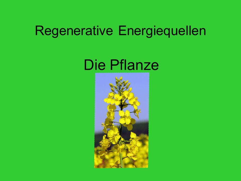 Regenerative Energiequellen Die Pflanze