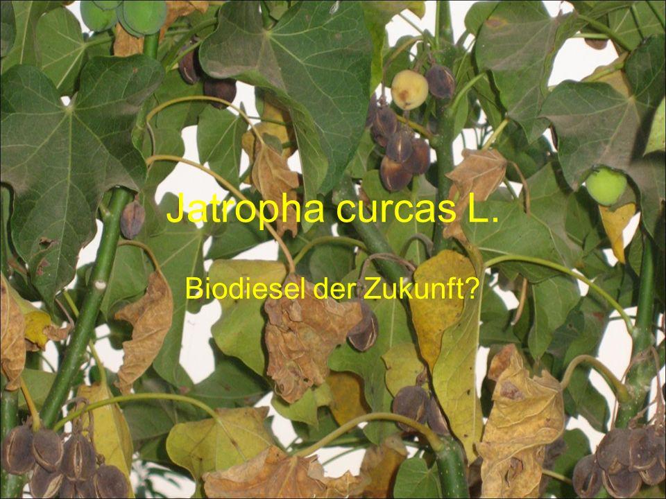 Jatropha curcas L. Biodiesel der Zukunft?