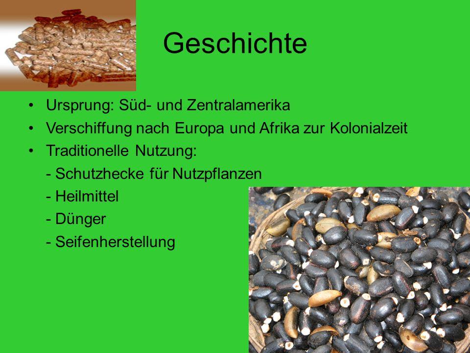 Geschichte Ursprung: Süd- und Zentralamerika Verschiffung nach Europa und Afrika zur Kolonialzeit Traditionelle Nutzung: - Schutzhecke für Nutzpflanzen - Heilmittel - Dünger - Seifenherstellung