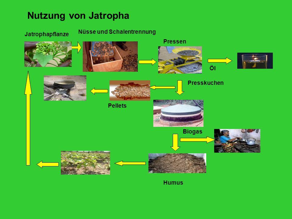 Pressen Jatrophapflanze Nüsse und Schalentrennung Presskuchen Pellets Biogas Humus Öl Nutzung von Jatropha