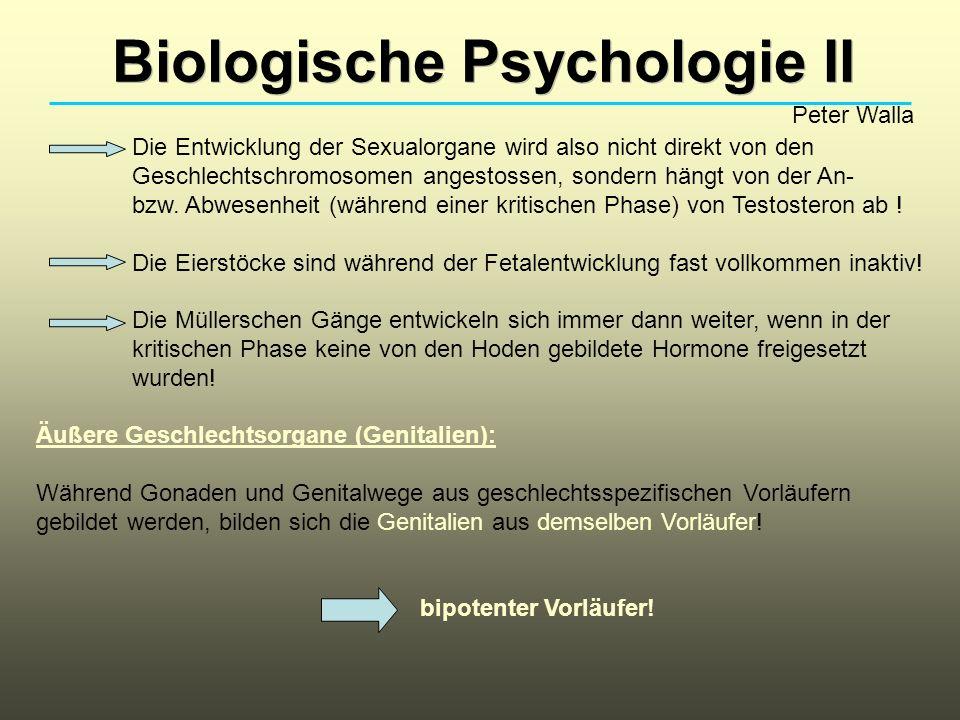 Biologische Psychologie II Peter Walla Die Entwicklung der Sexualorgane wird also nicht direkt von den Geschlechtschromosomen angestossen, sondern hängt von der An- bzw.