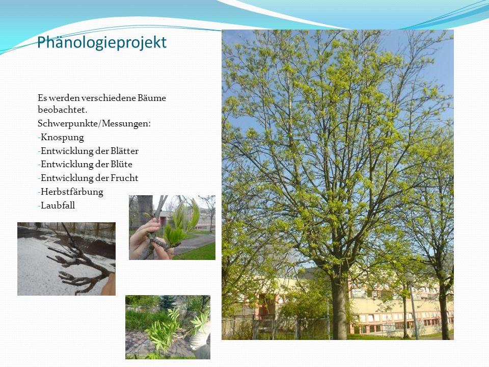 Phänologieprojekt Es werden verschiedene Bäume beobachtet. Schwerpunkte/Messungen: - Knospung - Entwicklung der Blätter - Entwicklung der Blüte - Entw