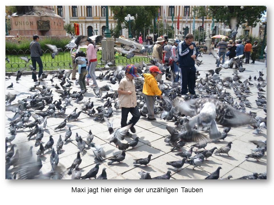 Maxi jagt hier einige der unzähligen Tauben