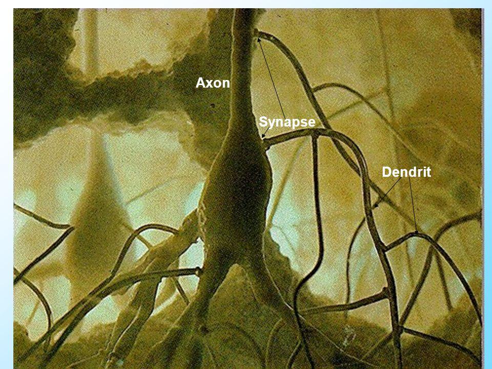 13 Referat Synapse Axon Dendrit