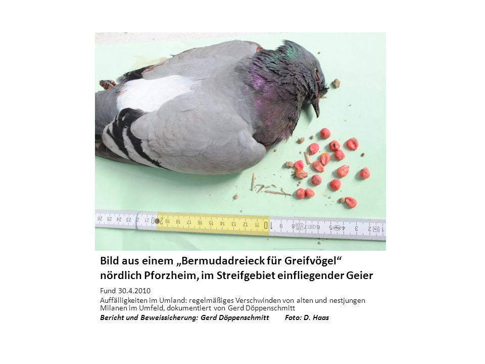 Bild aus einem Bermudadreieck für Greifvögel nördlich Pforzheim, im Streifgebiet einfliegender Geier Fund 30.4.2010 Auffälligkeiten im Umland: regelmä