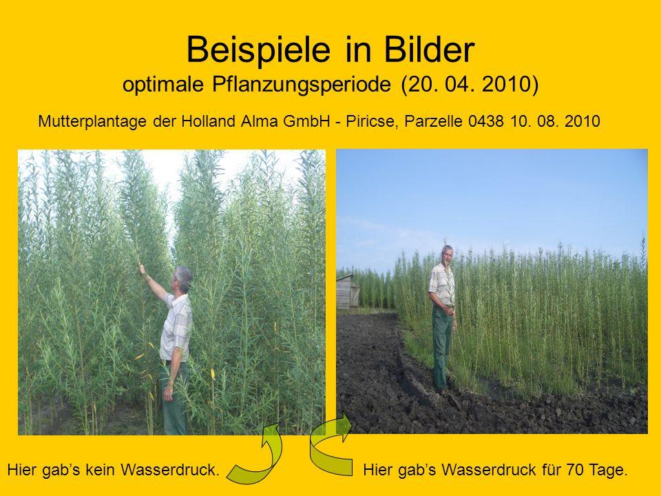 Beispiele in Bilder optimale Pflanzungsperiode (20. 04. 2010) Mutterplantage der Holland Alma GmbH - Piricse, Parzelle 0438 10. 08. 2010 Hier gabs kei