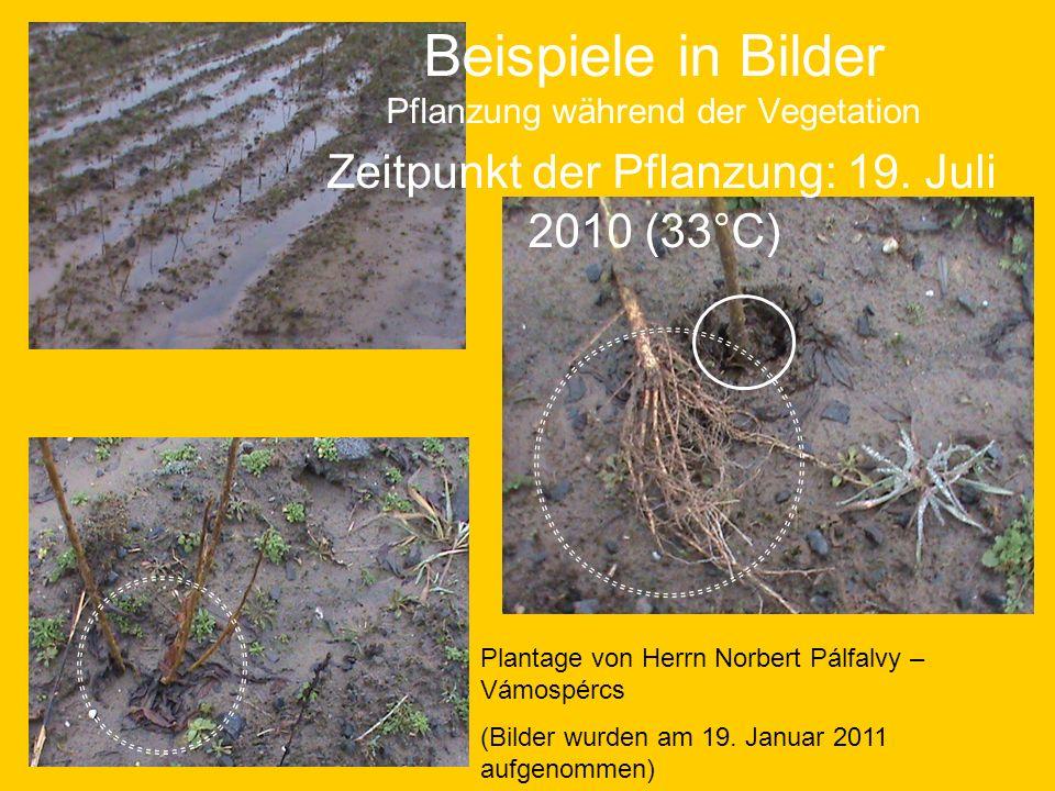 Beispiele in Bilder Pflanzung während der Vegetation Zeitpunkt der Pflanzung: 19. Juli 2010 (33°C) Plantage von Herrn Norbert Pálfalvy – Vámospércs (B