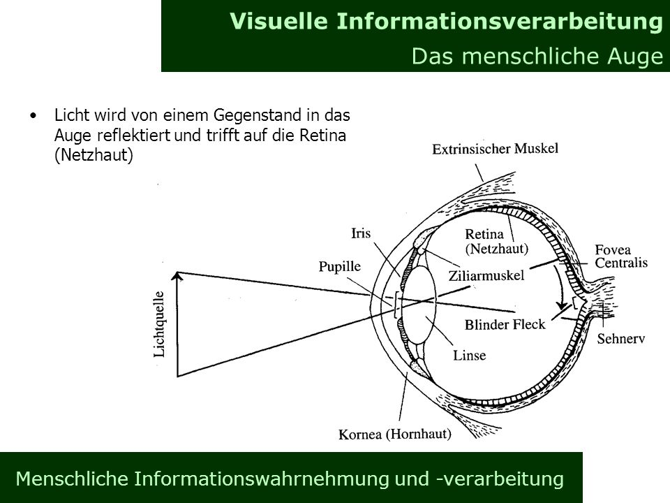 Menschliche Informationswahrnehmung und -verarbeitung Informationsverarbeitung im Gehirn Allgemeines Visuelle Informationsverarbeitung Das menschliche Auge Licht wird von einem Gegenstand in das Auge reflektiert und trifft auf die Retina (Netzhaut)