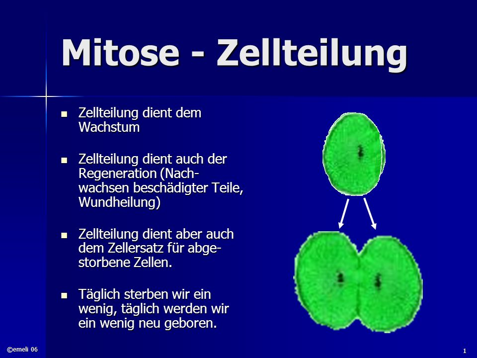 ©emeli 06 1 Mitose - Zellteilung Zellteilung dient dem Wachstum Zellteilung dient dem Wachstum Zellteilung dient auch der Regeneration (Nach- wachsen