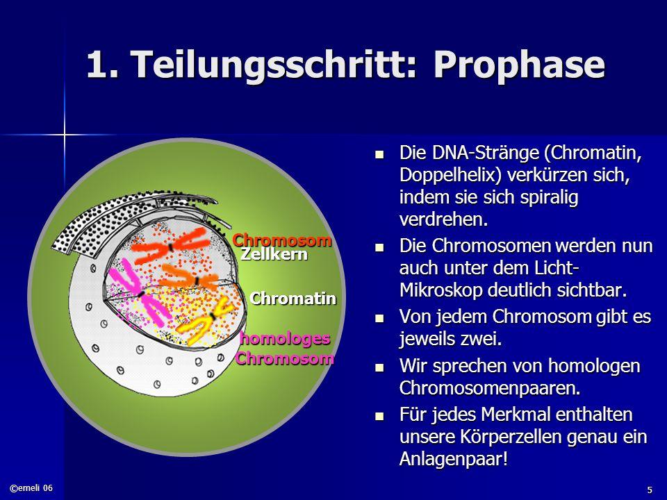 ©emeli 06 5 1. Teilungsschritt: Prophase Die DNA-Stränge (Chromatin, Doppelhelix) verkürzen sich, indem sie sich spiralig verdrehen. Die DNA-Stränge (