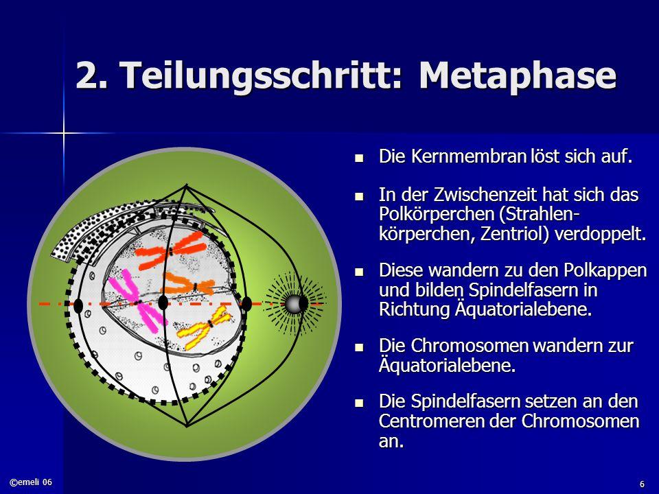 ©emeli 06 6 2. Teilungsschritt: Metaphase Die Kernmembran löst sich auf. Die Kernmembran löst sich auf. In der Zwischenzeit hat sich das Polkörperchen