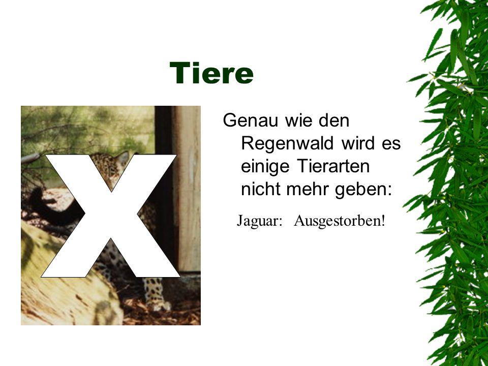 Tiere Genau wie den Regenwald wird es einige Tierarten nicht mehr geben: Jaguar:Ausgestorben!