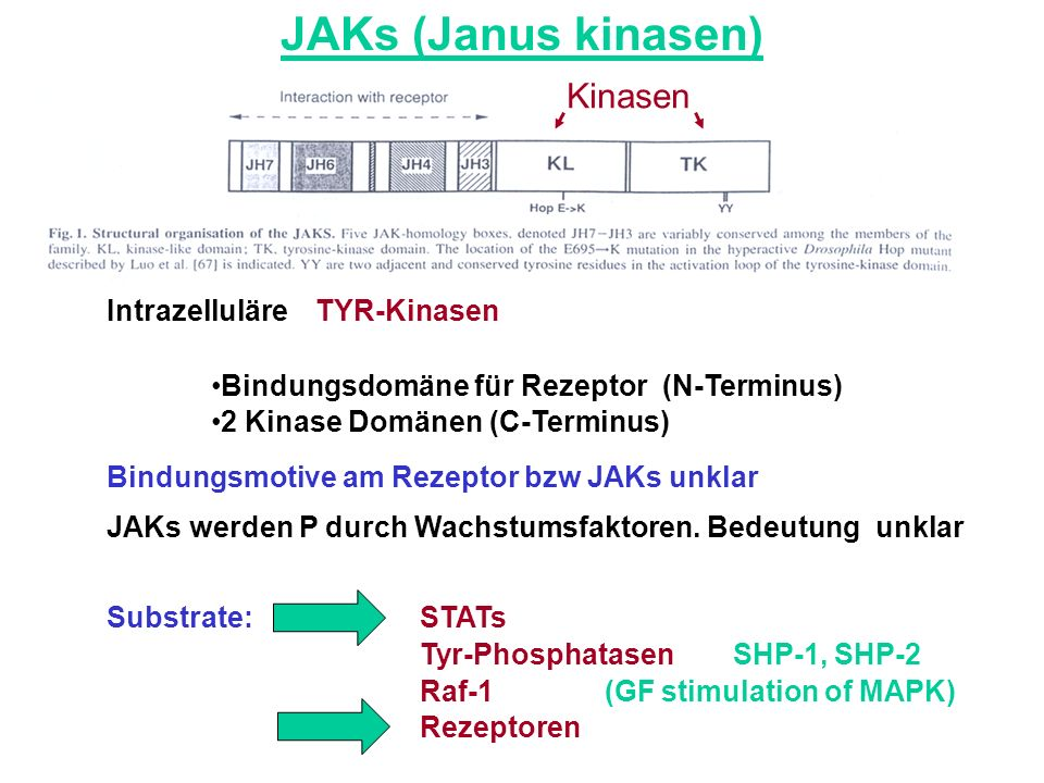 JAKs (Janus kinasen) IntrazelluläreTYR-Kinasen Bindungsdomäne für Rezeptor (N-Terminus) 2 Kinase Domänen (C-Terminus) Bindungsmotive am Rezeptor bzw J