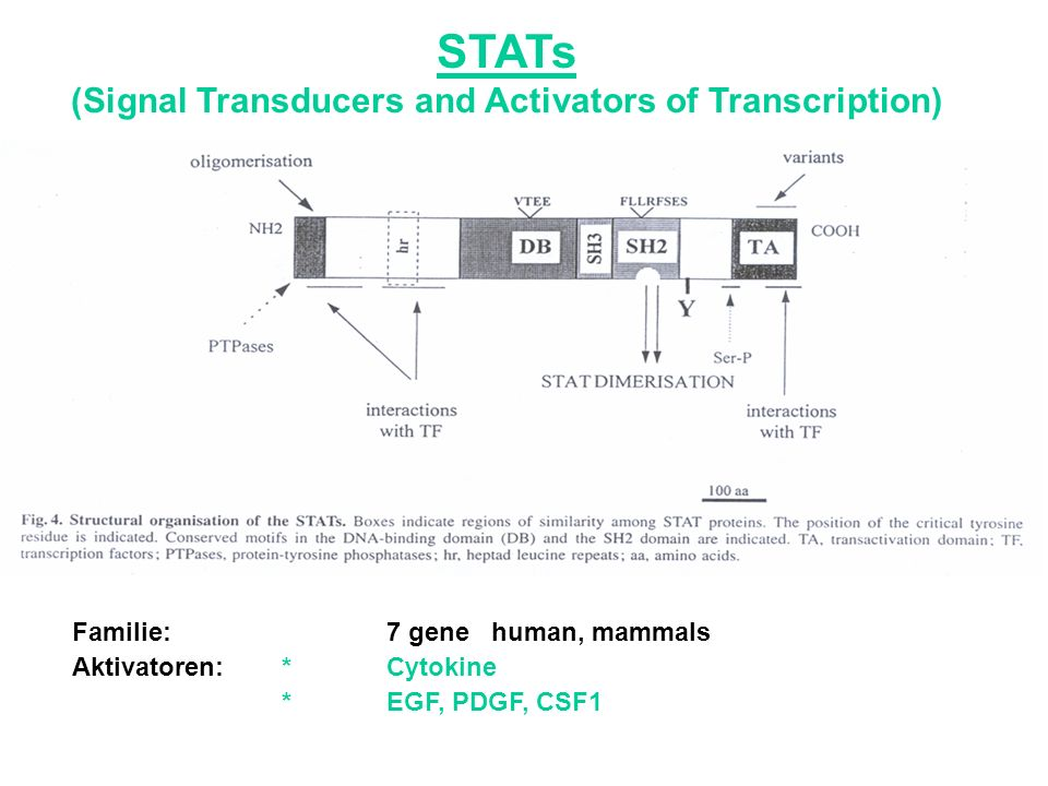 STATs (Signal Transducers and Activators of Transcription) Familie: 7 gene human, mammals Aktivatoren:* Cytokine *EGF, PDGF, CSF1