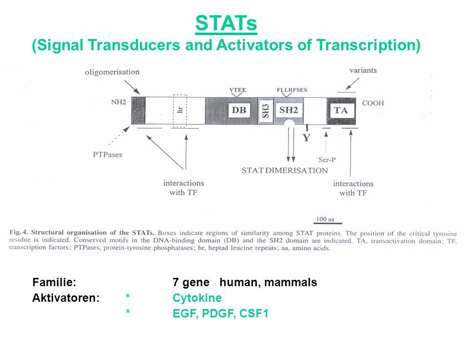STATs binden an Tyr-P Rezeptor über ihre SH-2 Domäne.