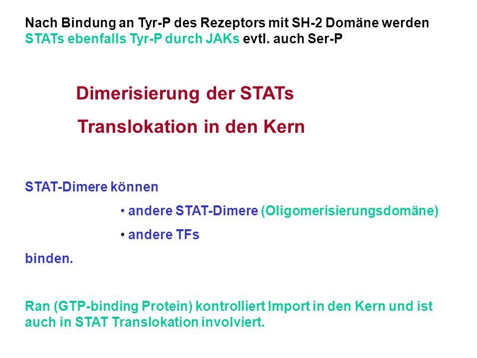 Nach Bindung an Tyr-P des Rezeptors mit SH-2 Domäne werden STATs ebenfalls Tyr-P durch JAKs evtl. auch Ser-P Dimerisierung der STATs Translokation in