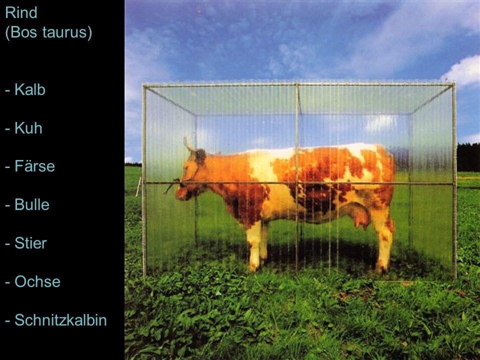 Rind (Bos taurus) - Kalb - Kuh - Färse - Bulle - Stier - Ochse - Schnitzkalbin