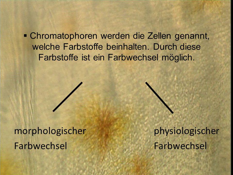 Chromatophoren werden die Zellen genannt, welche Farbstoffe beinhalten. Durch diese Farbstoffe ist ein Farbwechsel möglich. morphologischer physiologi