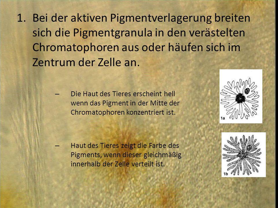 1.Bei der aktiven Pigmentverlagerung breiten sich die Pigmentgranula in den verästelten Chromatophoren aus oder häufen sich im Zentrum der Zelle an. –