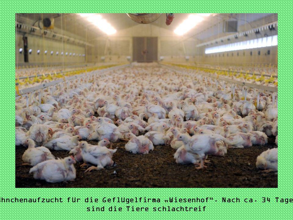 Hähnchenaufzucht für die Geflügelfirma Wiesenhof. Nach ca. 34 Tagen sind die Tiere schlachtreif