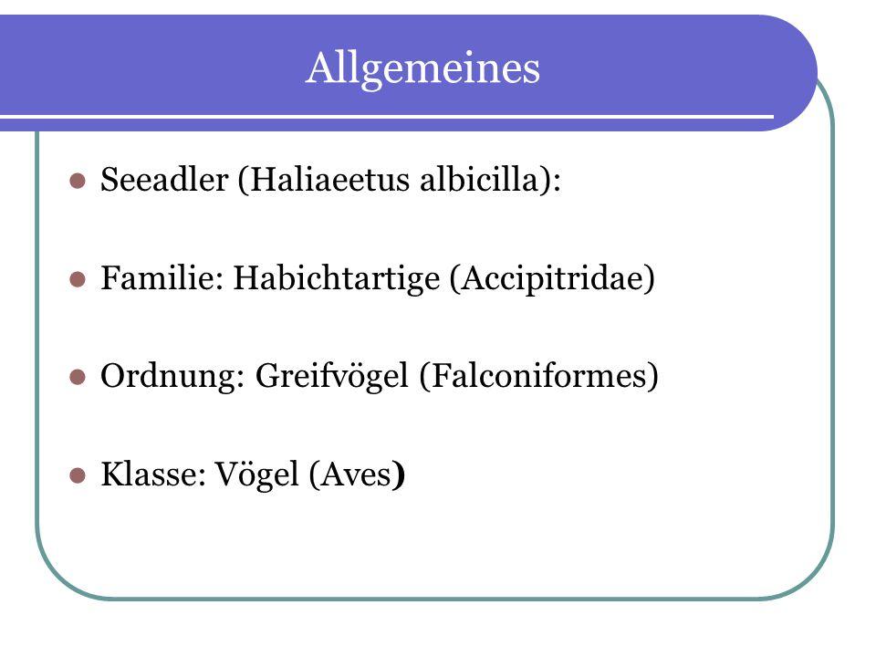 Allgemeines Seeadler (Haliaeetus albicilla): Familie: Habichtartige (Accipitridae) Ordnung: Greifvögel (Falconiformes) Klasse: Vögel (Aves)