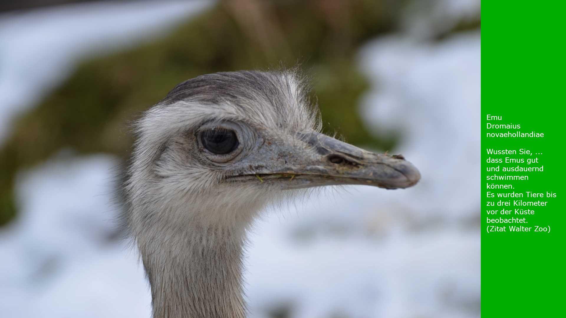 Emu Dromaius novaehollandiae Wussten Sie,... dass Emus gut und ausdauernd schwimmen können. Es wurden Tiere bis zu drei Kilometer vor der Küste beobac