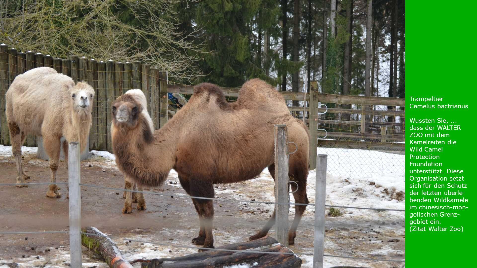 Trampeltier Camelus bactrianus Wussten Sie,... dass der WALTER ZOO mit dem Kamelreiten die Wild Camel Protection Foundation unterstützt. Diese Organis
