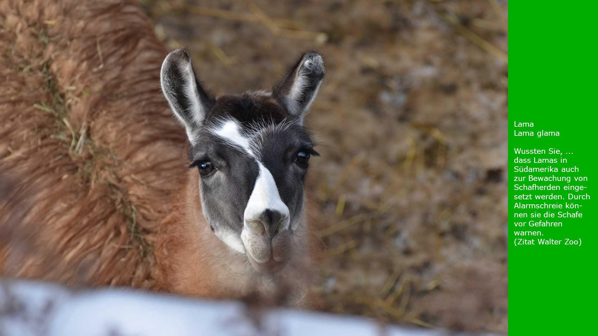 Lama Lama glama Wussten Sie,... dass Lamas in Südamerika auch zur Bewachung von Schafherden einge- setzt werden. Durch Alarmschreie kön- nen sie die S