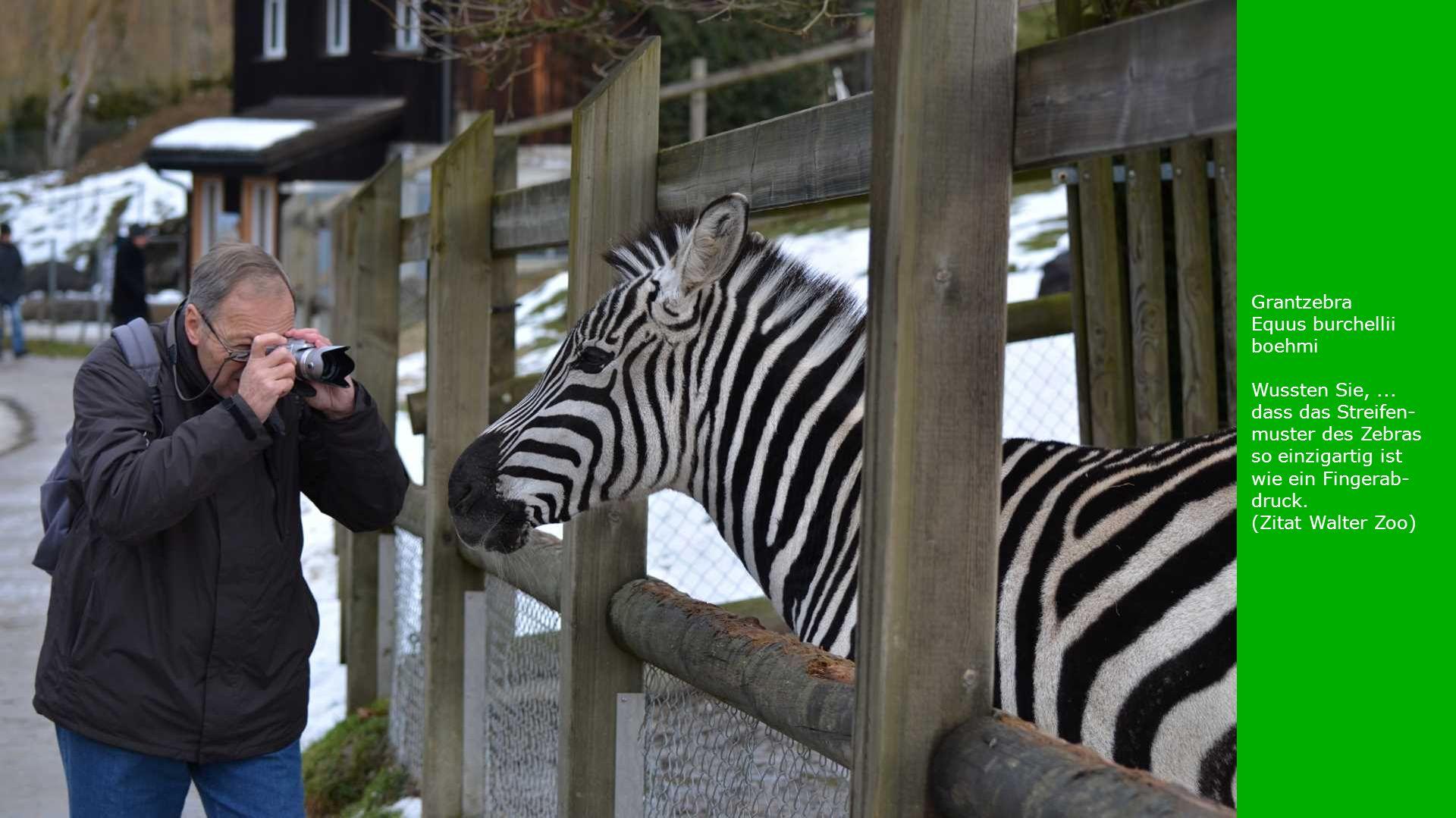 Grantzebra Equus burchellii boehmi Wussten Sie,... dass das Streifen- muster des Zebras so einzigartig ist wie ein Fingerab- druck. (Zitat Walter Zoo)