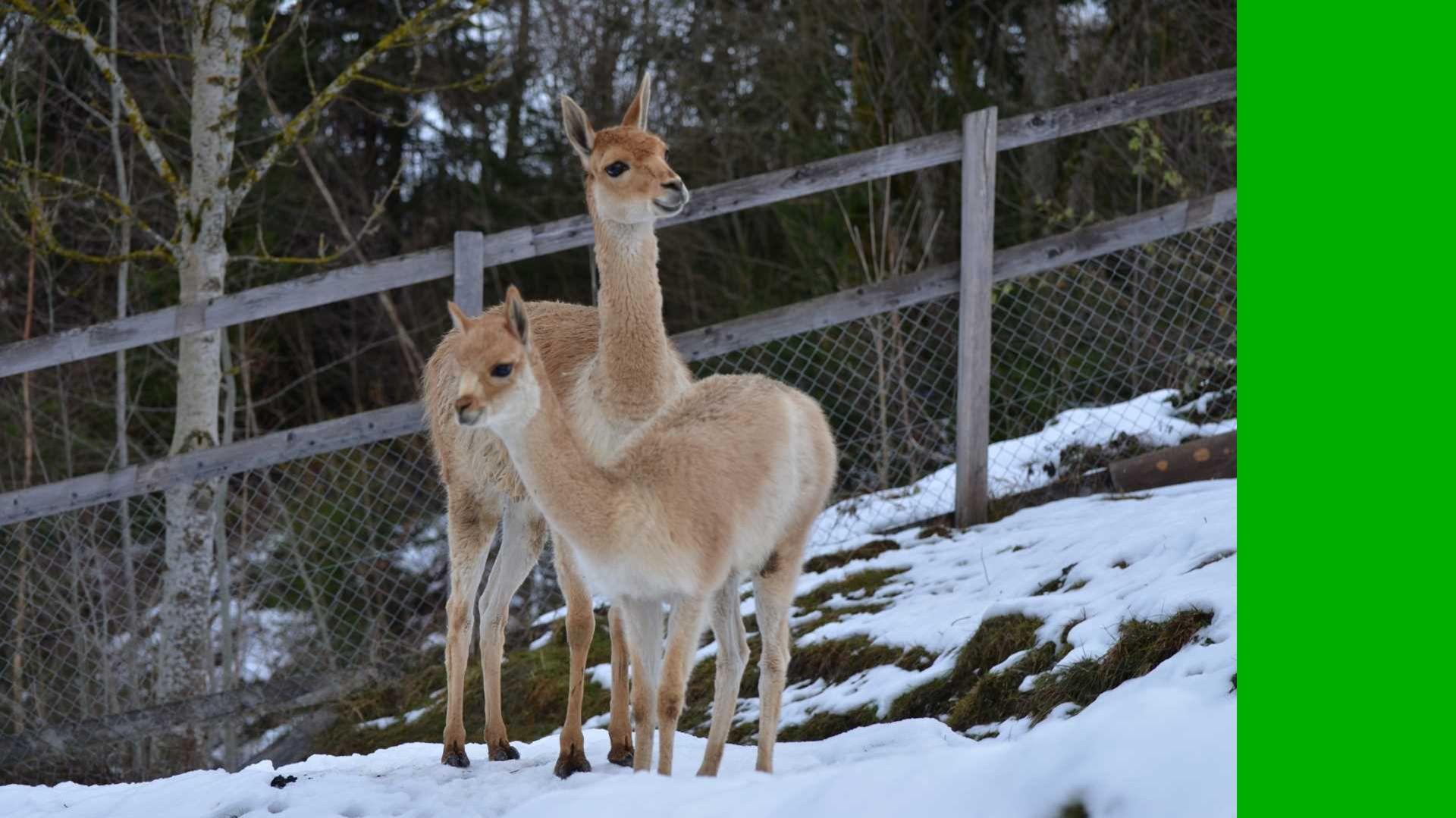 Grantzebra Equus burchellii boehmi Wussten Sie,...