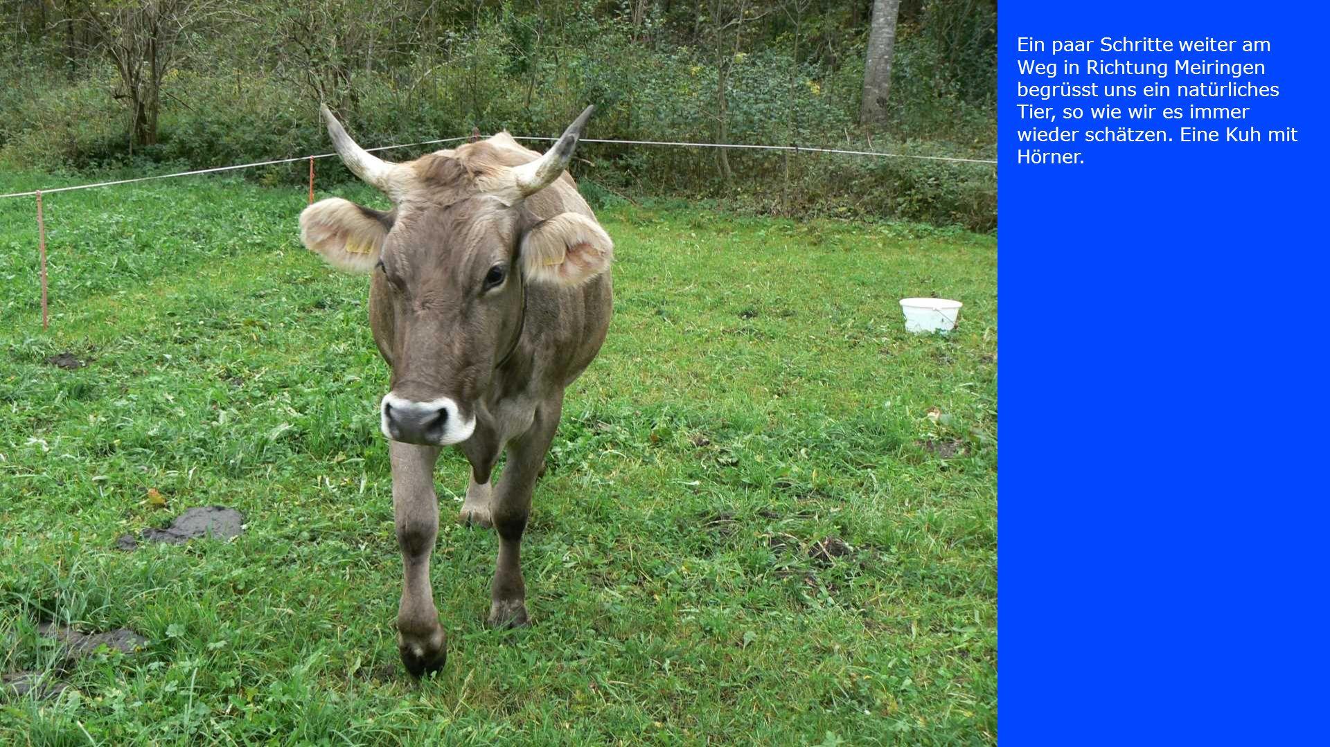 Ein paar Schritte weiter am Weg in Richtung Meiringen begrüsst uns ein natürliches Tier, so wie wir es immer wieder schätzen. Eine Kuh mit Hörner.