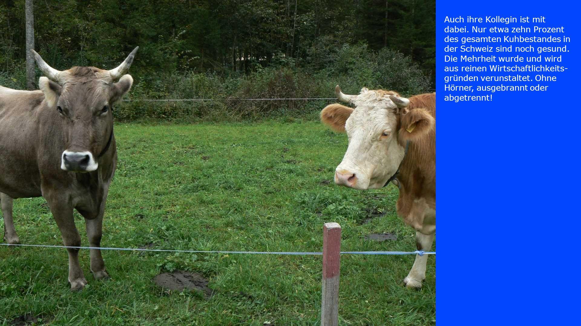 Auch ihre Kollegin ist mit dabei. Nur etwa zehn Prozent des gesamten Kuhbestandes in der Schweiz sind noch gesund. Die Mehrheit wurde und wird aus rei