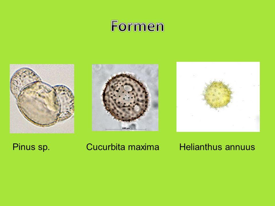 zu den größten gehören Kürbispollen (Cucurbita sp.), sie sind ca.