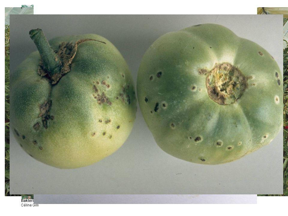 Bakterielle Tomatenwelke Clavibacter michiganensis Céline Gilli 3 Symptome und Schadbild Eine deutliche Welke, vor dem Vergilben der Pflanze.