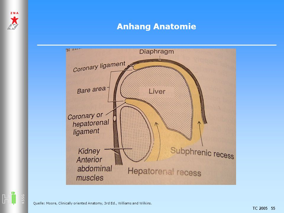 TC 2005 55 Anhang Anatomie Quelle: Moore, Clinically oriented Anatomy, 3rd Ed., Williams and Wilkins.
