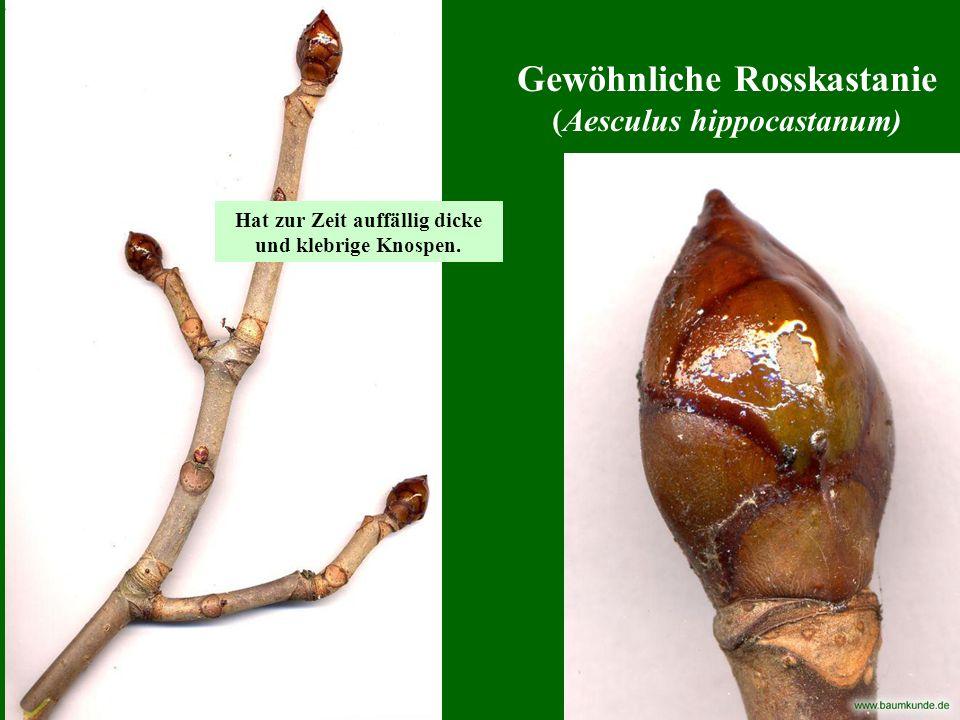 Gewöhnliche Rosskastanie (Aesculus hippocastanum) Hat zur Zeit auffällig dicke und klebrige Knospen.